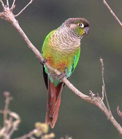 Green-cheeked Parakeet copyright Trogon Tours
