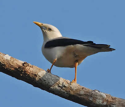 Andaman White-headed Starling