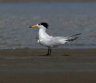 chinese_crested_tern_jpg