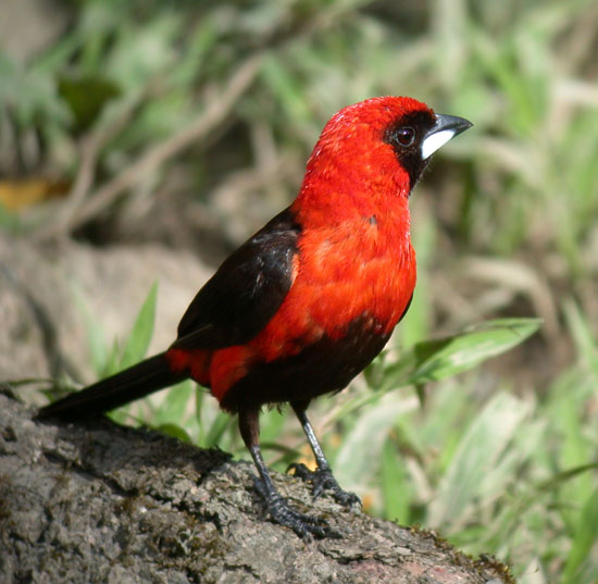 Masked-Crimson-Tanager