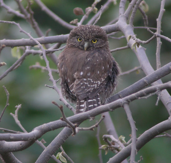 Andean Pygmy-Owl