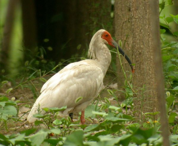 Crested Ibis copyright Bjorn Anderson