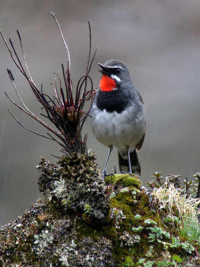 Chinese Rubythroat - Sichuan 2011