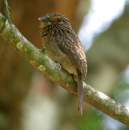 Crescent-chested-Puffbird