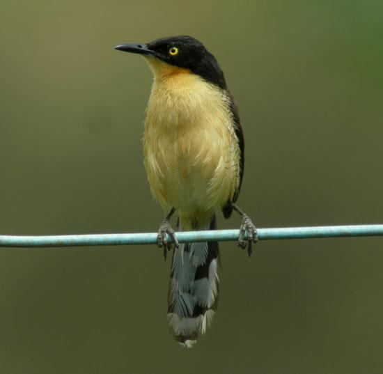 Black-capped-Donacobius