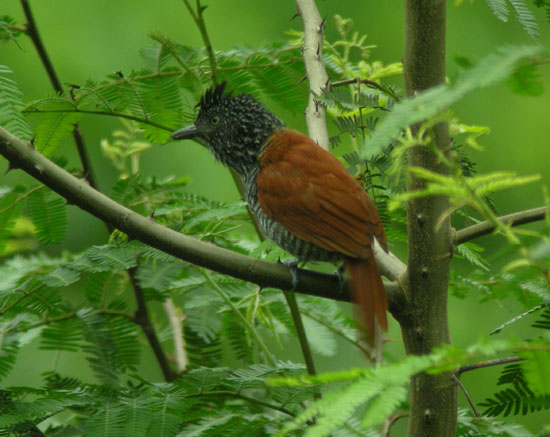Rufous-backed Antshrike