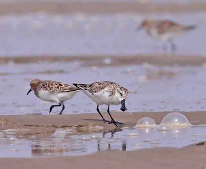 Spoon-billed Sandpiper copyright Tong Menxiu