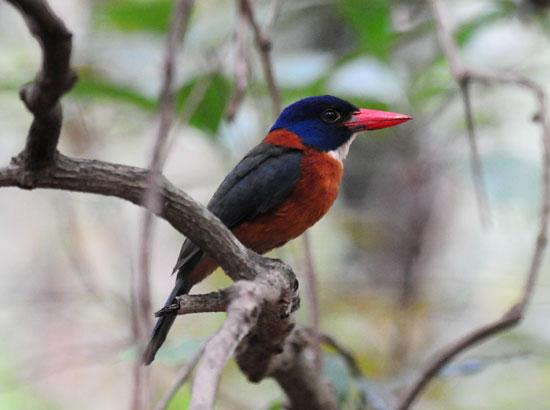 Green-backed-Kingfisher-1