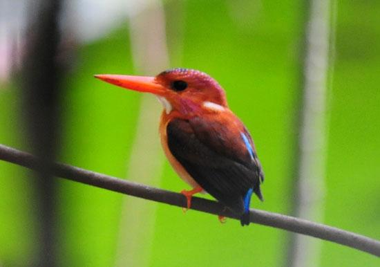 Sulawesi-Dwarf-Kingfisher-5