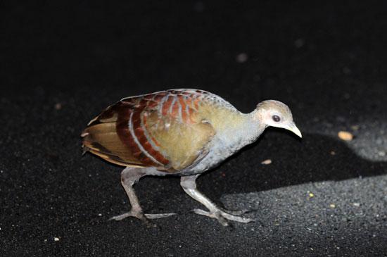 Moluccan-Scrubfowl