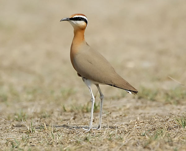 Indian Courser copyright Nikhil Devasar