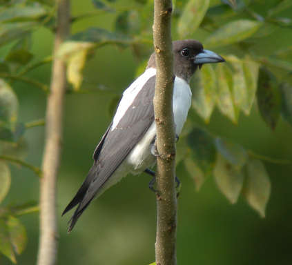 Ivory-backed Woodswallow