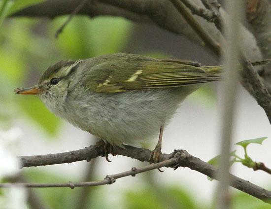 Eastern-Crowned-Warbler-2