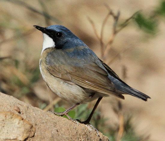 Siberian-Blue-Robin-1