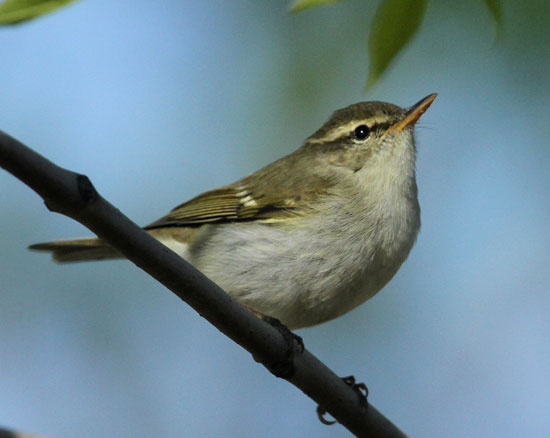 Two-barred-Greenish-Warbler
