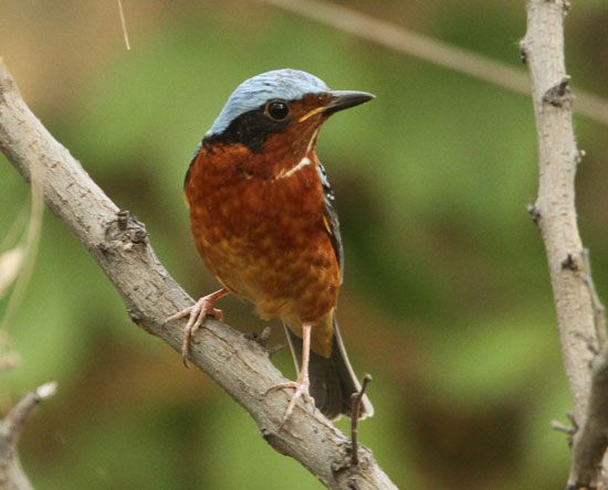 White-throated-Rock-Thrush-