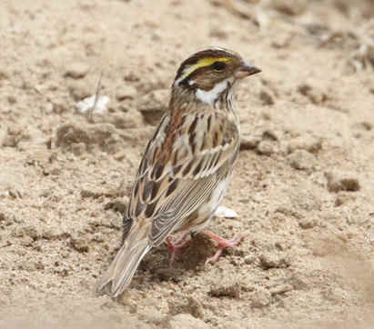 Yellow-browed-Bunting-3