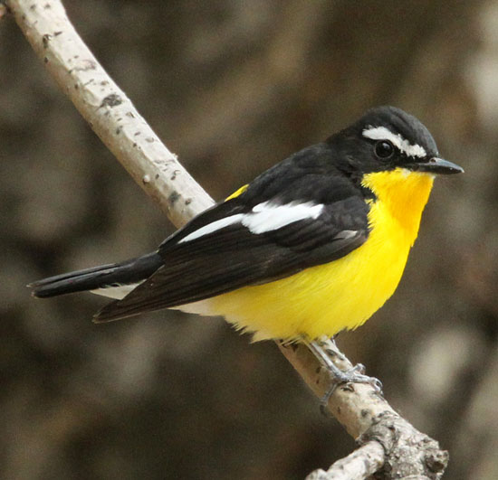 Yellow-rumped-Flycatcher-2