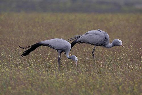 Blue-Cranes-by-Steve-Hinton