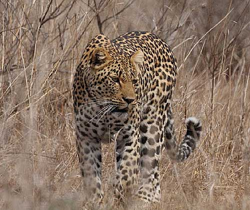 Leopard-by-Steve-Hinton
