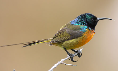 Orange-breasted Sunbird-by Steve Hinton