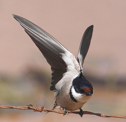 White-throated-Swallow-by-S