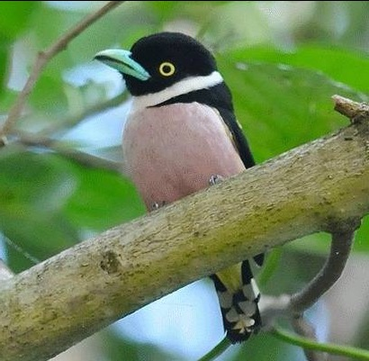 Black-and-yelloe Broadbill