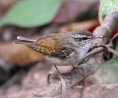 Pale-legged-Leaf-warbler