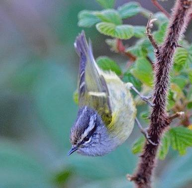 Ashy-throated-Leaf-warbler