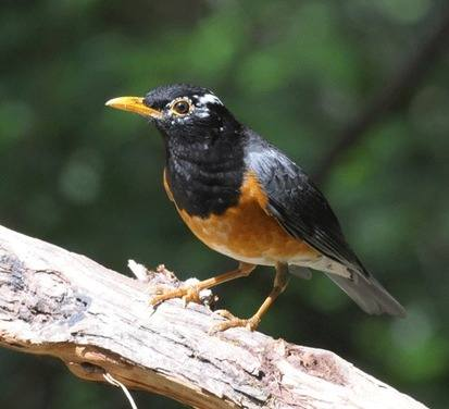 Black-breasted-Thrush