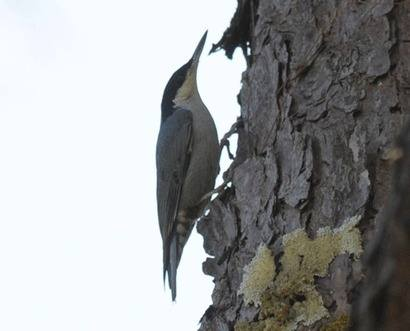 Giant-Nuthatch-1