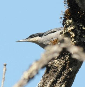 Giant-Nuthatch-5