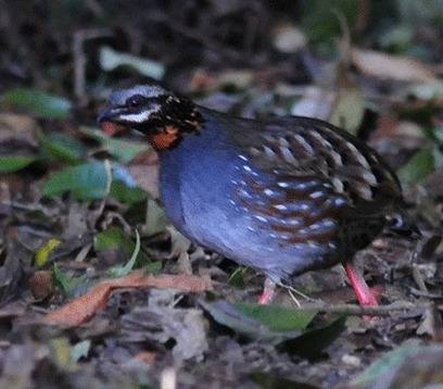Rufous-throated-Hill-partridge-1