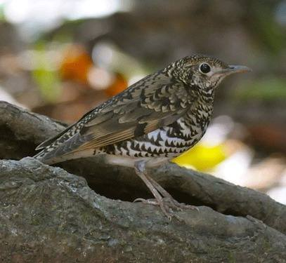 Small-billed Scaly Thrush