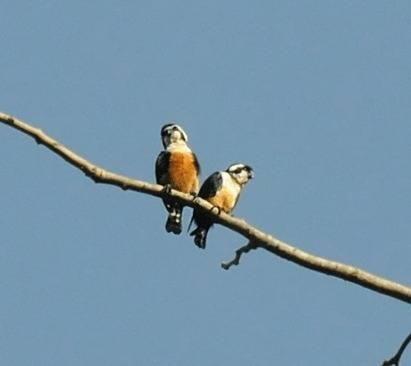 Black-thighed-Falconet
