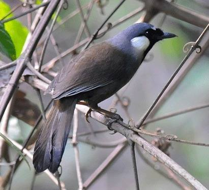 Black-throated-Laughingthrush