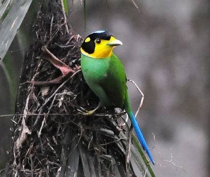 Long-tailed-Broadbill-2012 tour