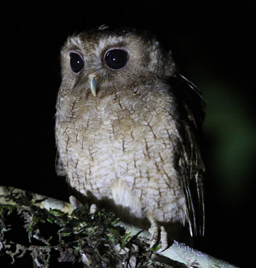 Colombian Screech-Owl by Steve Bird