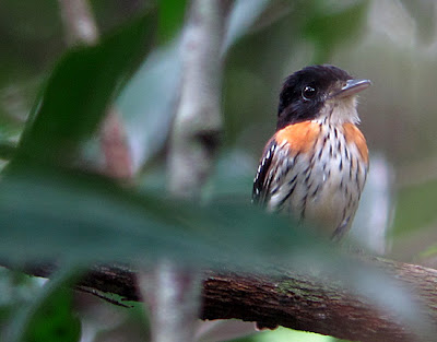 Rufous-sided Broadbill