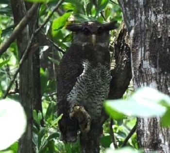 Barred-Eagle-owl-female-B