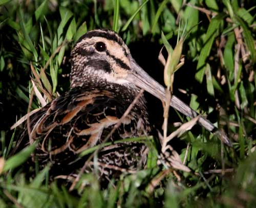 Giant-Snipe-by-Steve-Bird