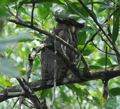 Barred-Eagle-owl-male-2