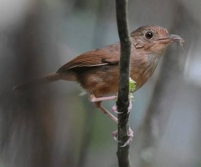 Buff-breasted-Babbler