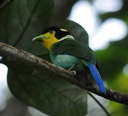 Long-tailed-Broadbill Frasers Hill