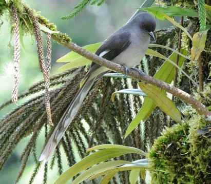 Long-tailed-Sibia