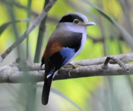 Silver-breasted-Broadbill-1