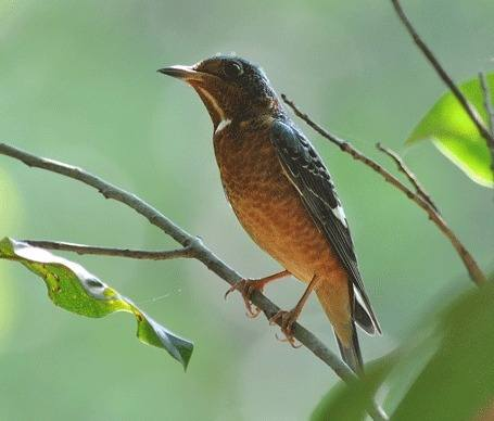 White-throated-Rock-thrush Cambodia 2012