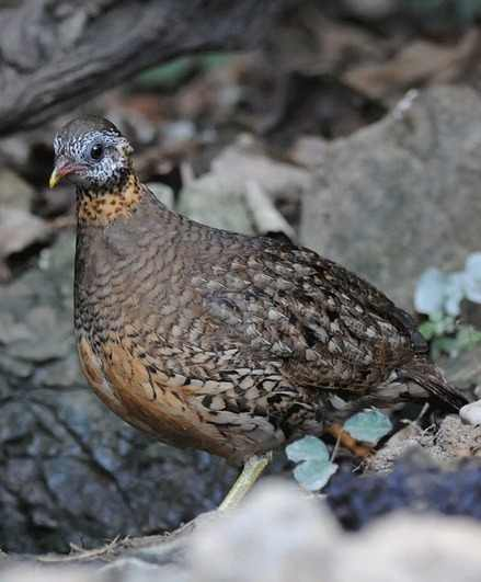 Scaly-breasted-Partridge-Thailand-2012-by-Nick-Bray