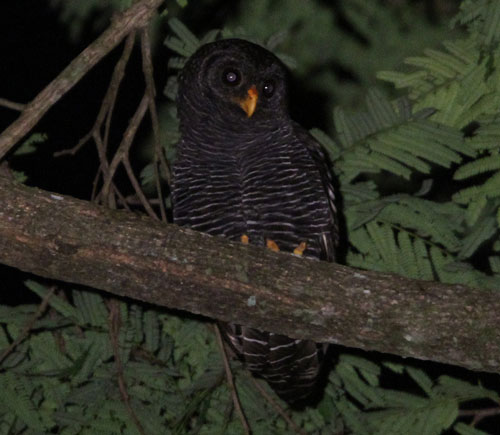 Black-banded-Owl-by-Steve-Bird