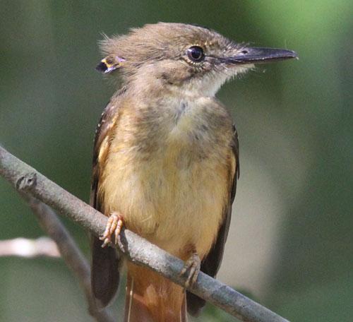 Northern-Royal-Flycatcher